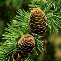 Хвойные деревья (1)