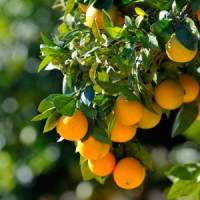 Плодовые растения (8)