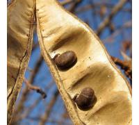 Семена акации
