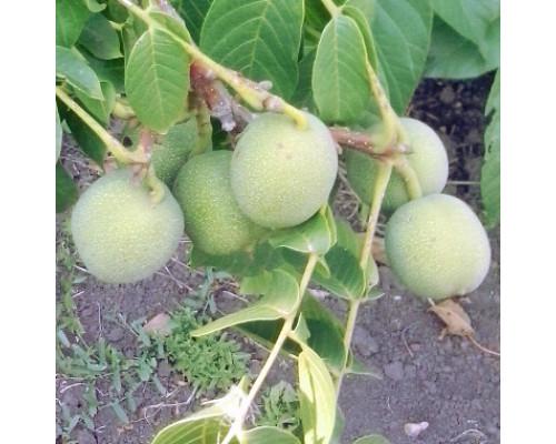 Орех грецкий скороплодный Левина (сеянцы) 1-но летние