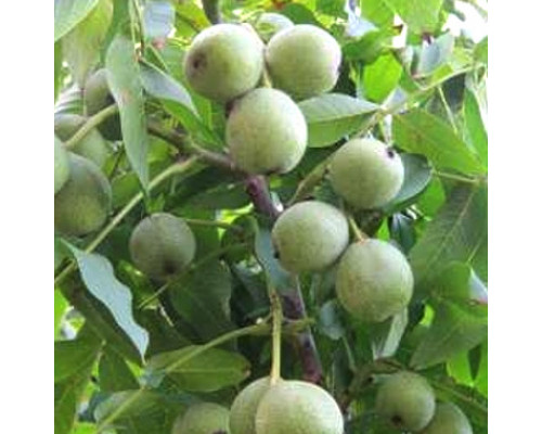 Орех грецкий скороплодный Левина (сеянцы) 2-х летние