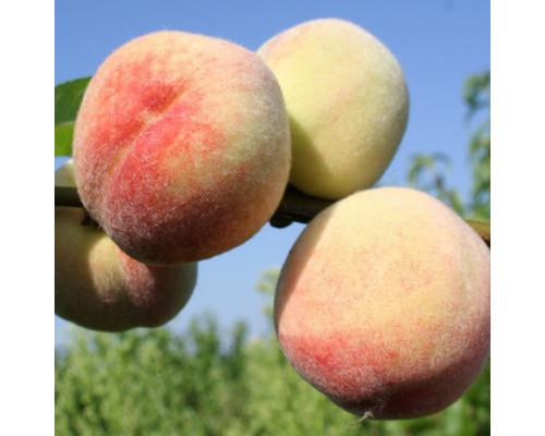 Персик донецкий белый (сеянцы)