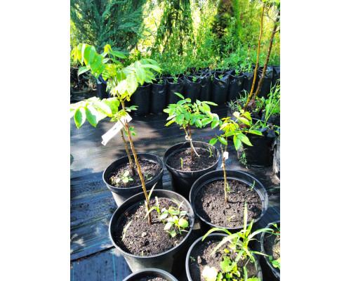 Орех ланкастерский 3-х летние (сеянцы)